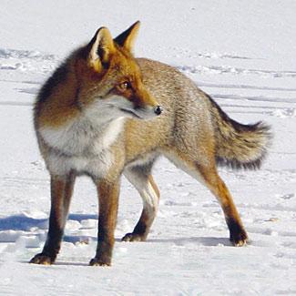040714_red-fox-in-Norway_Daily_Scandinavian