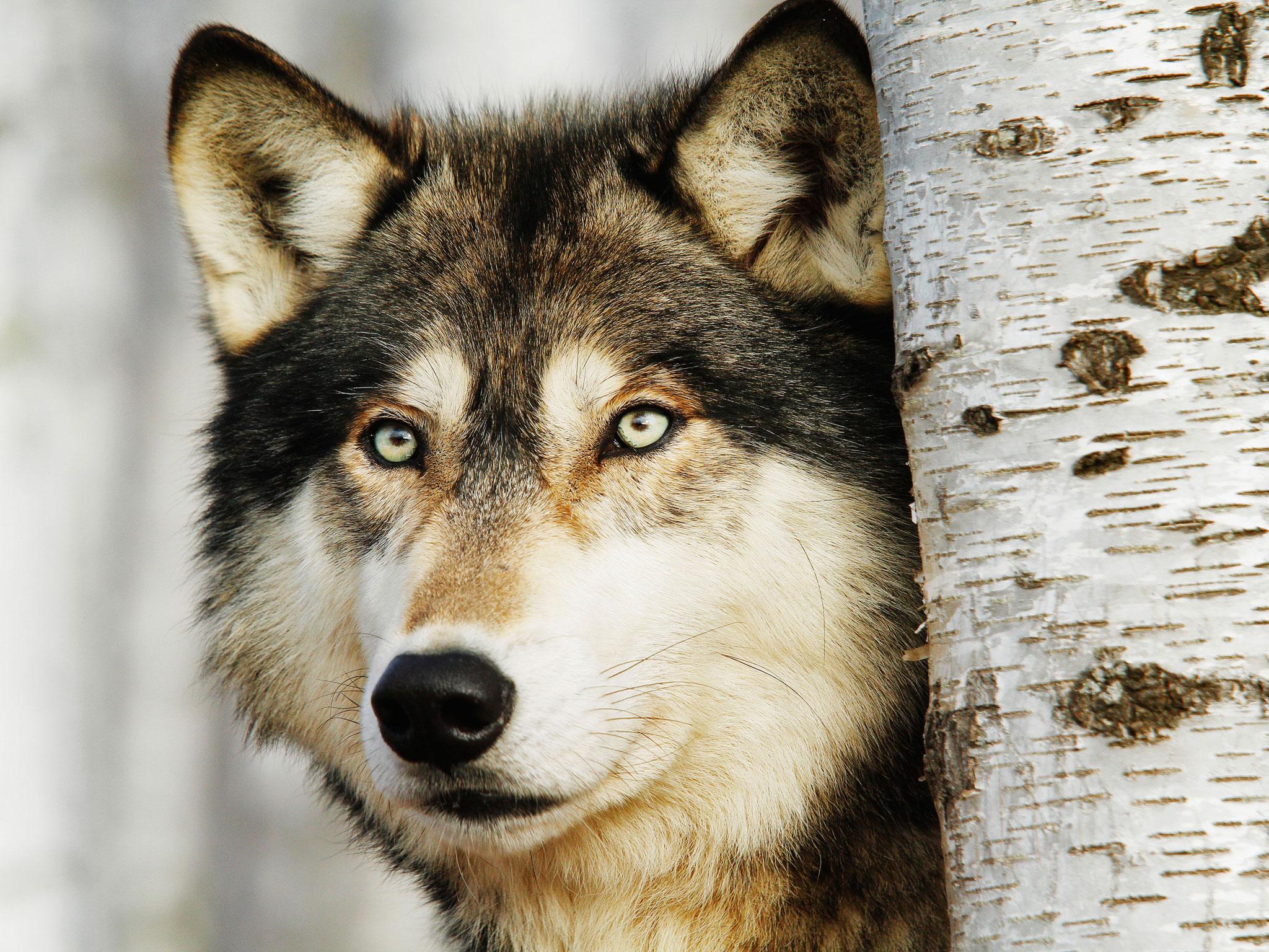 040714_wolf_Daily_Scandinavian