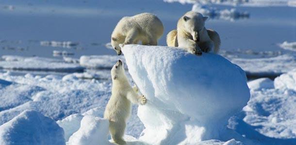 120515-Ice-bears-at-svalbard
