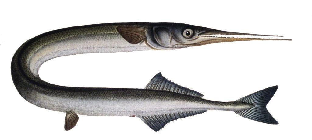 Scandinavian Garfish