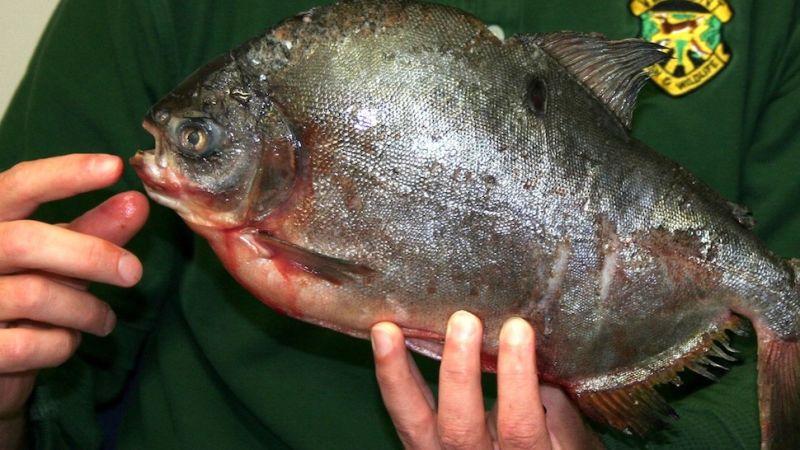 Scandinavian flatfish