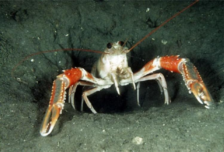 Norway lobster