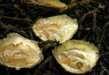 World's Best Oyster – A Wild Swedish Delicacy