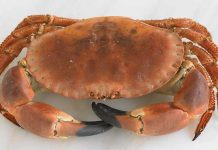 Scandinavian Common Crab