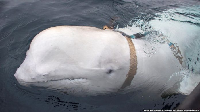 Russian 'Spy' Whale on Mission in Norway?