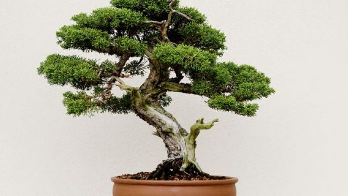 The Art of Growing Bonsai Trees in Scandinavia