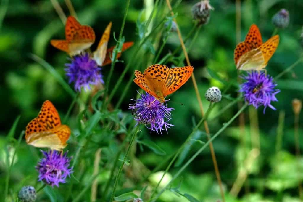The Decline of Butterflies in Scandinavia
