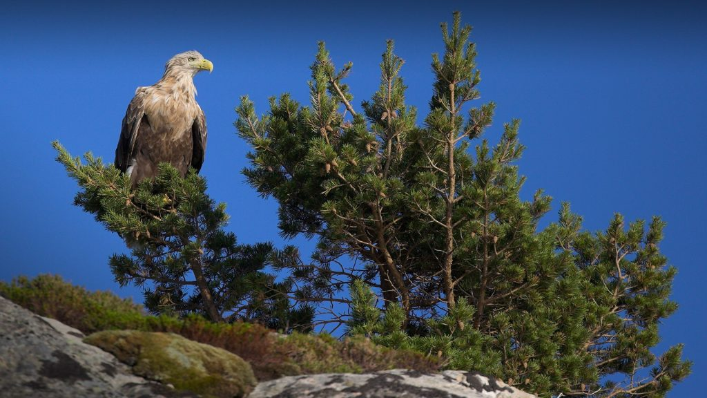 Watch the Majestic Sea Eagles in Norway