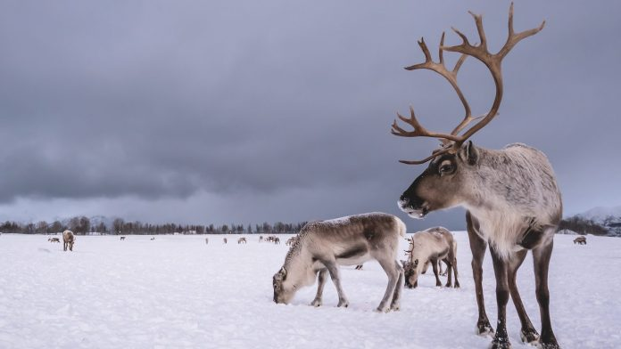 Climate Change Threatening Arctic Reindeer