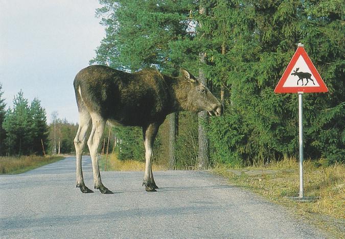 Scandinavian elk