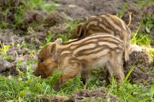 Wild Boar in Scandinavia