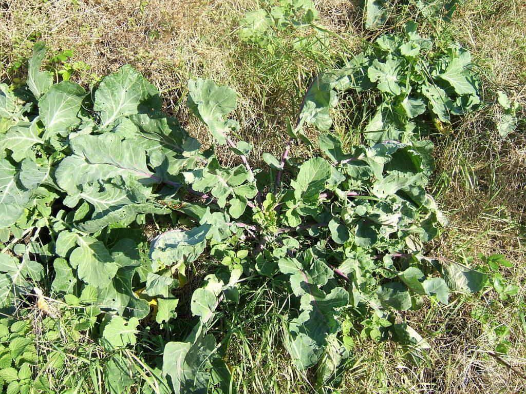 Scandinavian Cabbage & Kale