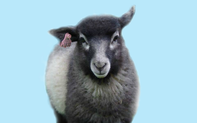 """The """"Black Sheep"""" of Norway"""