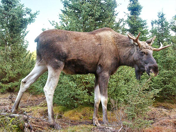Bridges for Reindeer in Sweden and Moose in Norway Save Lives for Animals as Well as Humans