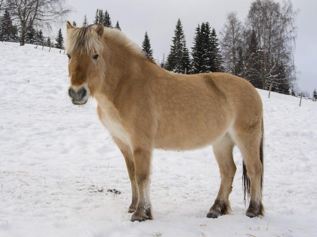 The Fascinating History of Scandinavian Horses